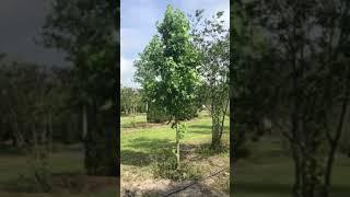 Sweet Gum Tree/Seedless/Happy Days