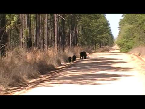 Bears up the road from Lake delancy East. Ocala national forest Florida