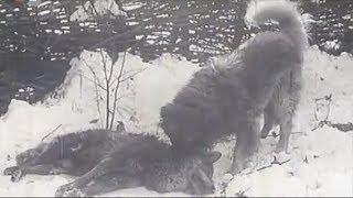 Sarplaninac ubija dva vuka 720p