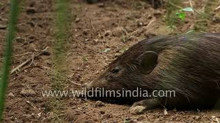 L63 161 Pygmy Hog conservation success story from Assam
