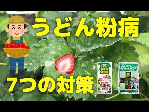 , title : 'いちごのうどん粉病対策!家庭菜園と有機栽培で使える7個の方法