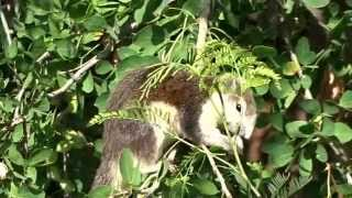 preview picture of video 'Finlayson's squirrel eating Manila tamarind pods in Kalasin, Thailand'