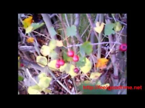 Video FeelGoodTime.net: Hawthorn Berry Herb Benefits and Side Effects