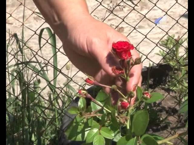Как вырастить на участке кустовые розы