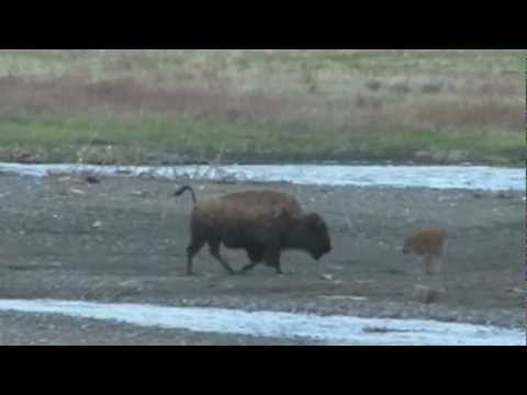 Grizzly Bear Chases Elk in Yellowstone NP