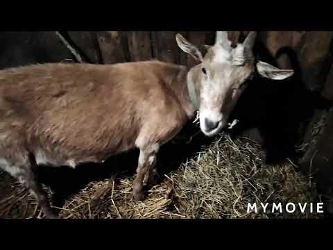 Купила еще одну козу