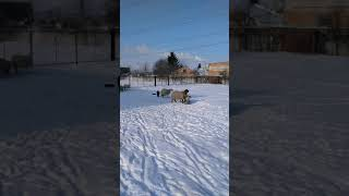 Куча баранов