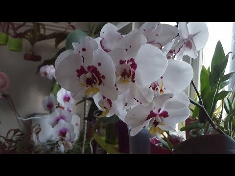 Орхидеи Цветение Апрель