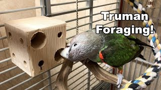 Truman Cape Parrot - Playing with Natural Foraging Box