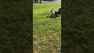 Miniature Schnauzer Puppies Videos