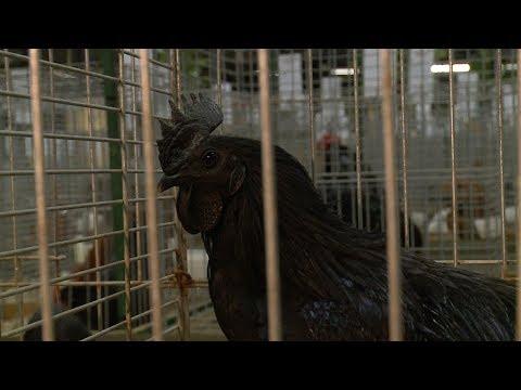 Kleindierenshow Winschoter Pluimvee en Konijnenclub. - RTV GO! Omroep Gemeente Oldambt