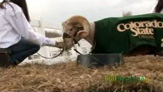 Ramble On: Hanging with CAM the Ram at Colorado State University