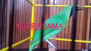 Cucak Ijo OGI - (R) USAMA #.part 3