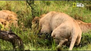 Des Lions Adultes S'amusent Avec Un Bébé Lion    Racontée Par Gérard Darmon