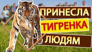 Как тигрица Скарлетт малыша принесла показать. Тайган. Tigress has brought to show a tiger cub