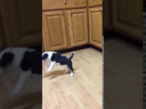 AKC Bull Terrier Girl Phase 10