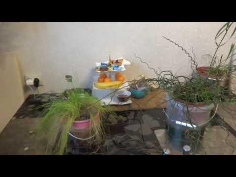 Комнатные цветы/растения. Болотные растюхи у меня дома. Циперус. Джункус. Сцирпус.