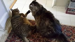Борьба сумо по кошачьи