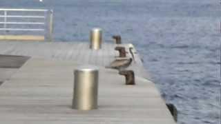 preview picture of video 'Etienne, le pélican, n'aime pas qu'on le dérange quand il bronze sur le débarcadère !'