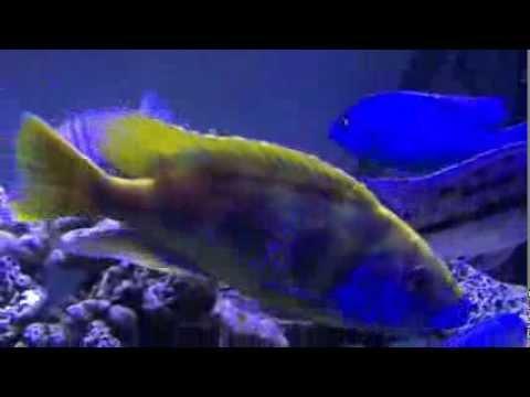 ニンボクロミス・ベネスタス(Nimbochromis Venustus)
