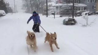 Snow-Loving Golden Retrievers Pull Man On Snowskate After Blizzard
