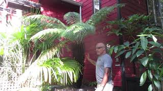 How to care for your Tree Fern