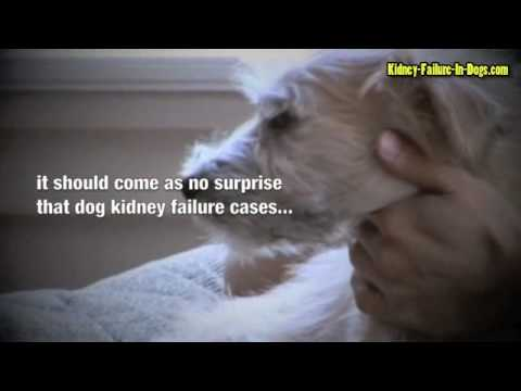 Video Kidney failure in dogs - Act Fast To Give Your Dog The Best Chance Of Survival!
