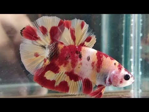 Ikan Cupang Plakat Koi Kombinasi Warna Hasil Mutasi