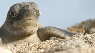 Turtle Hatchlings Face Death While Dashing To Ocean