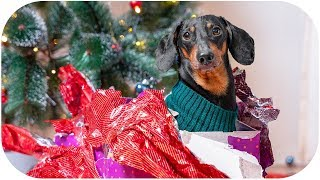 Where is my GIFT?!? Cute & funny dachshund dog video!