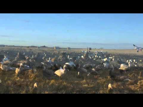 Afternoon mallards over a snow goose spread