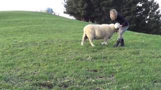 Does This Rugby Playing Sheep Also Make Rugby Sweaters?