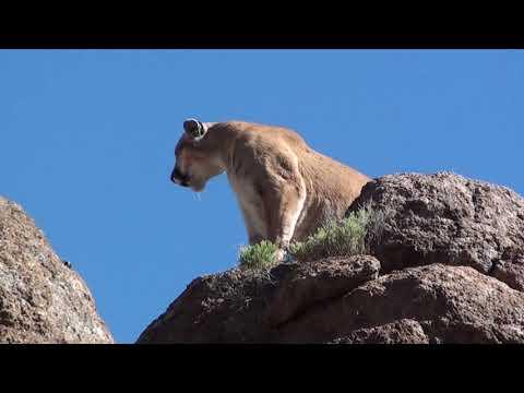 2020 Mountain Lion Hunt