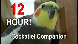 Cockatiel Companion 12 HOURS of BIRD NOISE!!! Play this to your Cockatiel