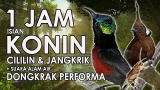 TERAPI KONIN BUKA PARUH ISIAN CILILIN & JANGKRIK Mastering 1 JAM | HD