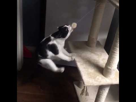 Cat goes ham on his ball toy