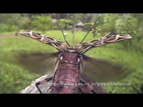 テナガカミキリ Harlequin beetle