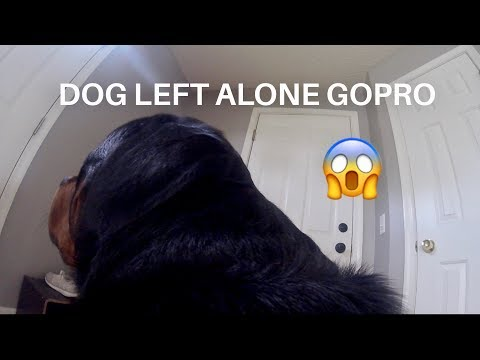 Rottweiler left Home alone with GoPro 11