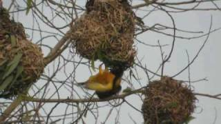 preview picture of video 'Tisserin gendarme Ploceus cucullatus Village Weaver'