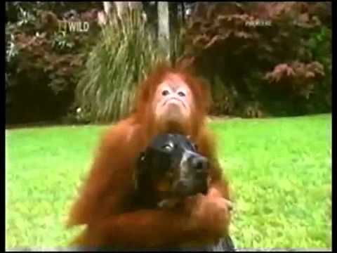 Bestest Buddies: Orangutan and Hound Dog (must see!)