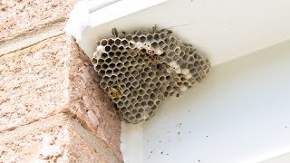 How to remove wasp/bee nest