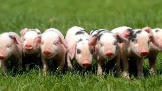 Piggies George Harrison 🐖Cover Beatles