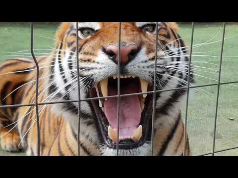 Midday snack time for the tigers ! with an unbelievable roar !
