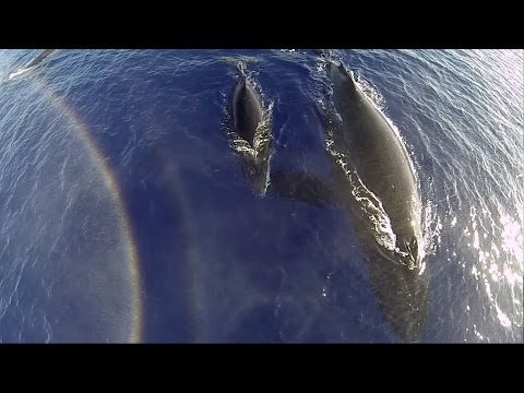 GoPro: Humpback Whales From A Drone