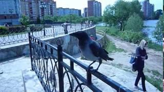 Ворона маленькая птичка