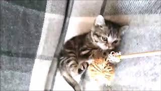 Куколка мраморного окраса! Британские котята питомника Elite British. Элитные британцы.