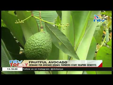 Demand for avocado grows, farmers start reaping benefits