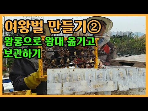 [양봉교육]여왕벌 만드는 방법: (2)왕롱으로 왕대 옮기고 보관하기