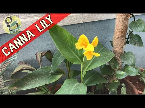 CANNA LILY Plant Care | How to Grow and Care Cannas | Propagation of Canna Lily