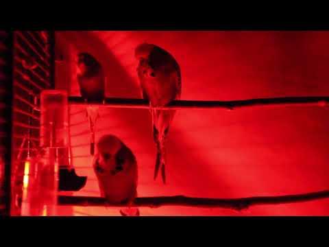 Серия 20. Волнистые попугаи - гиганты и карлики. Выставочный и без ГМО.